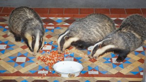 badgers-come-to-eriska-for-supper